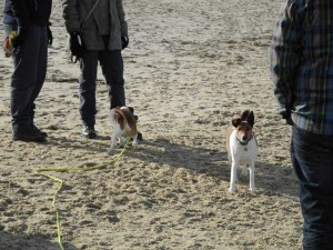 Hunde spielen am Strand in Cuxhaven Sahlenburg
